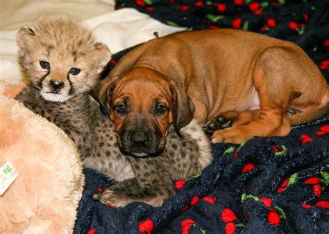 friends puppies  cheetahs part ii tgnr