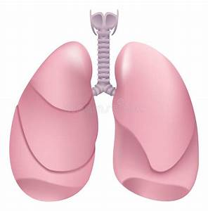 Healthy Human Lungs. Respiratory System. Lung, Larynx And ...