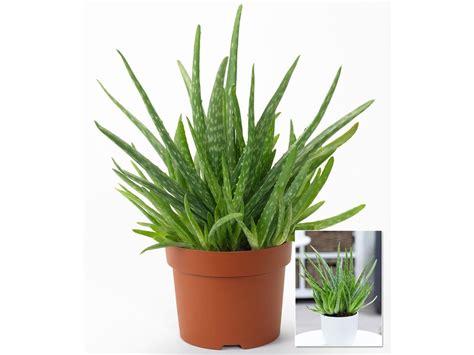 aloe vera pflanze umtopfen aloe vera pflanze pflegen aloe vera pflanze absenker