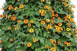 Sommerblumen Für Schatten : einj hrige kletterpflanzen 15 schnellwachsende und ~ Michelbontemps.com Haus und Dekorationen
