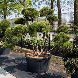 Pot Pour Arbre : pinus mugo mughus arbuste original pour terrasse et jardin ~ Dallasstarsshop.com Idées de Décoration