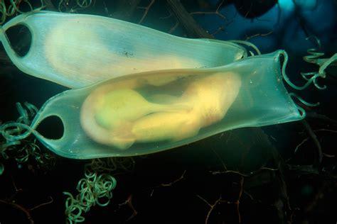 learn  sharks lay eggs