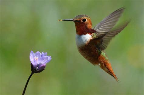 hummingbird flowers male allen s hummingbird in flight sipping california wildflower nectar