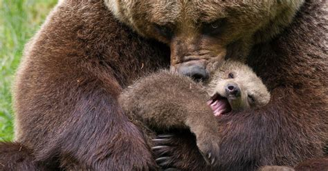 Why The Baby Bear Video, Filmed By Drone, Is Actually Bad