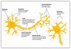 The Neuron Is The Building Block Of The Nervous System