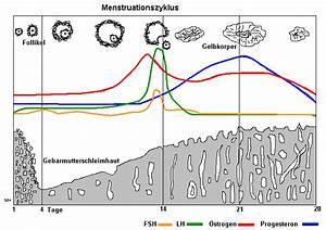 Zyklus Frau Berechnen : medizinfo der weibliche zyklus ~ Themetempest.com Abrechnung