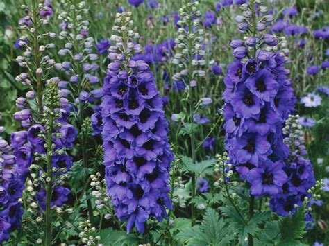 plante cu flori albastre spectacol in gradina