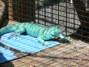 Adult Axanthic Blue Iguana