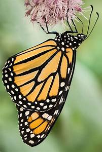 17 Best Images About Monarch Butterflies And Caterpillars