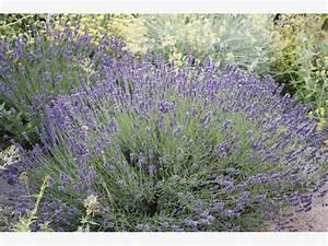 Lavendel Im Topf überwintern : kr uter berwintern mein sch ner garten ~ Frokenaadalensverden.com Haus und Dekorationen