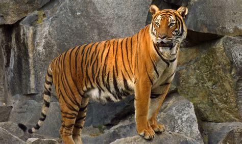 tigers extinct cambodia declared tiger zoo indochinese inhabitat slideshow