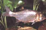 graskarpfen im gartenteich kaltwasser fische