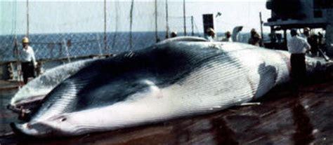 nowy gatunek wieloryba wp wiadomosci