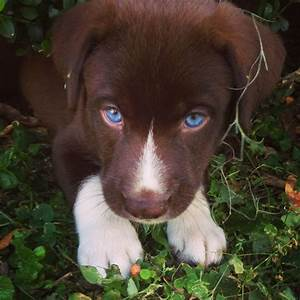 Husky mix! Those blue eyes!! | love | Pinterest | Eyes ...