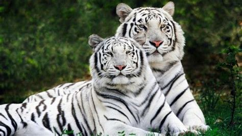 Images About Big Cats Wallpapers Pinterest