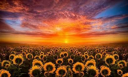 Sunflower Desktop Sunset Field Sky Cloud Mobile