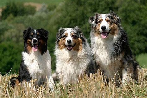 beliebte hunderassen die aktuellen top