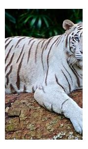Types of Tigers in the World | Animal Globe | BS Animals
