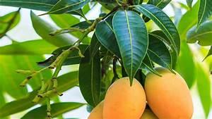 Can mango leaves cure diabetes, high blood pressure ...