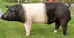 Semen Sales    Brink    Hampshire Hogs