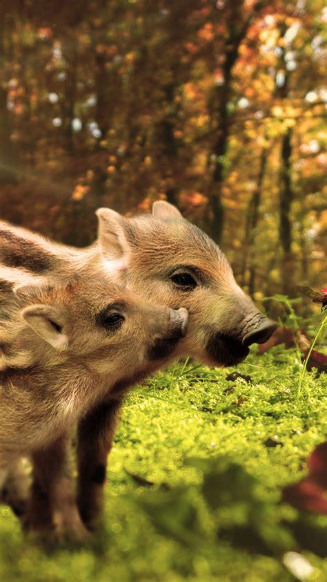 wallpaper pig funny animals  animals