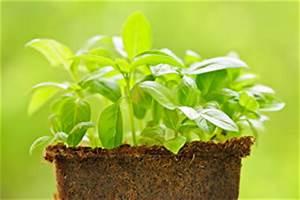 Basilikum Im Topf Pflege : basilikum ocimum basilicum anbau pflanzen und pflege ~ Orissabook.com Haus und Dekorationen