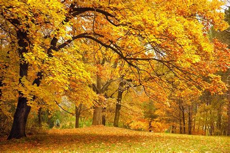 types of maple trees with pictures types of maple trees in missouri nixa lawn service