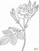 Coloring Rose Moss Pages Roses Realistic Template Printable Pink Supercoloring Communis Corner Common Dibujos Garden Yashi Adult sketch template