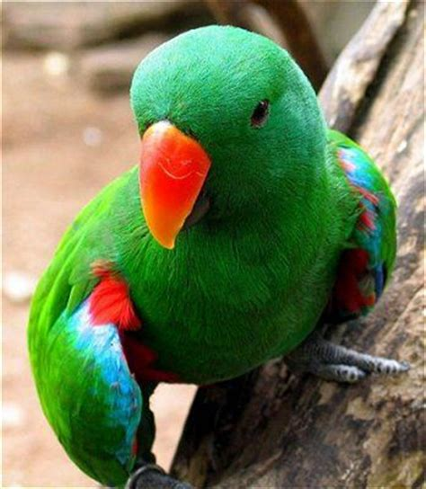 parrot bird eclectus parrot bird pictures beautiful