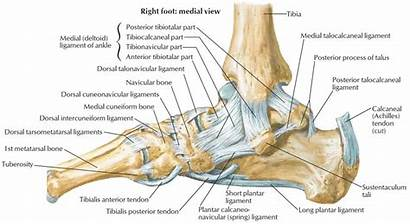 Anatomy Calcaneus Ankle Tendons Ligaments Foot Function