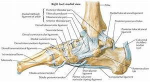 Calcaneus Bone Anatomy  Function  Calcaneus Pain