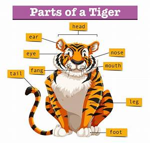 Diagram Showing Parts Of Tiger Stock Vector