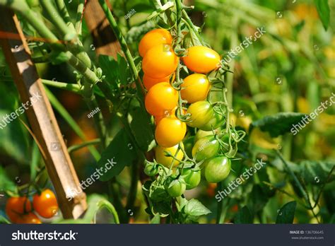 Dreamstime is the world`s largest stock photography community. Yellow Cherry Tomatoes On Plant Stock Photo 136706645 : Shutterstock