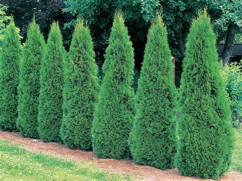 small conifer choosing conifers landscaping ideas and hardscape design hgtv