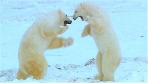 Polar Bears More Likely To Attack As Melting Sea Ice Makes