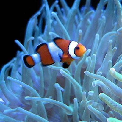Fish Clown Ikan Secret Nemo Badut Anemone
