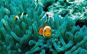 Clownfishes Live In Symbiosis With Sea Anemones Image