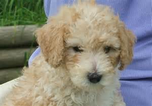 Small Dogs That Are Hypoallergenic
