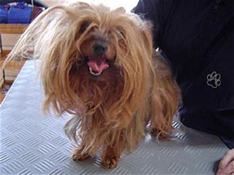 hundewellness salon sunrico bildergalerie kundenhunde yorkshire terrier