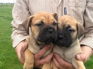 Adorable Chunky Bull Mastiff Bitch Puppy | Doncaster ...