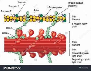 Detail Muscle Tissue Showing Actin Myosin Stock Vector ...