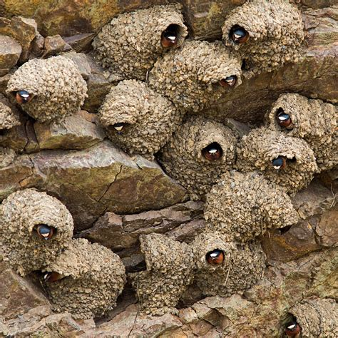 cliff-swallow-nests-B-W - Nature in Novato