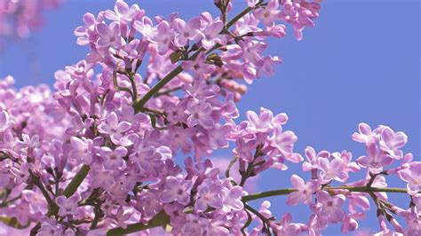 Lilac Background Lilac Tree Wallpaper Backgrounds Clipart Images Etc