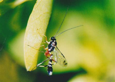 Banded Pupa Parasite Wasp - Leptobatopsis sp.