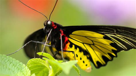 Yellow Butterfly Amazing Wallpaper | HD Wallpapers