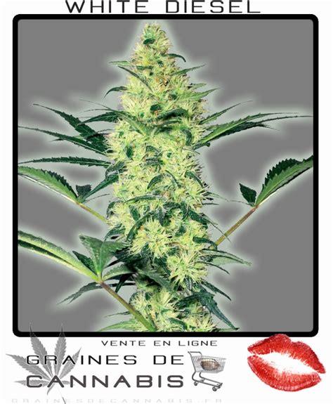 graine de cannabis feminisee interieur achetez des graines de cannabis f 233 minis 233 es