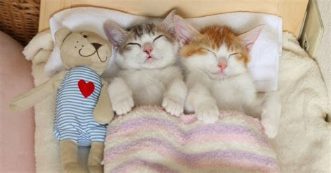 cheap beds adorable kittens take cat napping to a whole level in