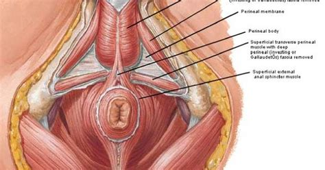 Muscles Of The Pelvic Floor by Pelvic Floor Postura How To Gain