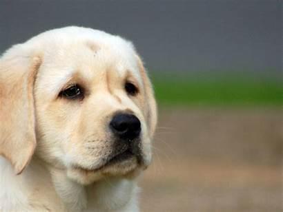 Puppy Sad Dog Looks Backgrounds Pixelstalk