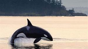Transient Orcas Visiting Northwest Waters In Record Number